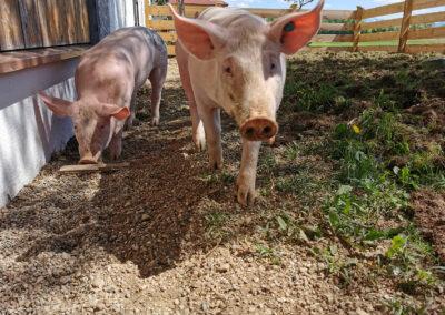 Unsere Schweine im Auslauf | Urbanhof Fam. Reif
